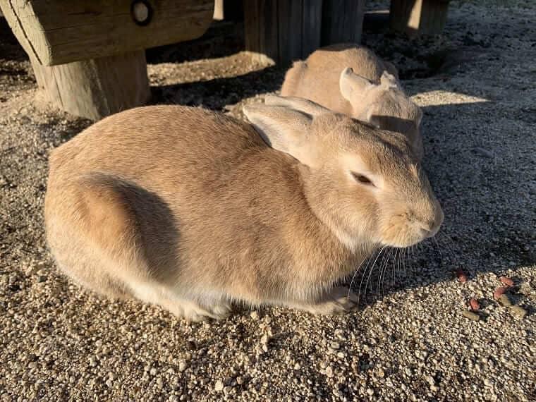 大久野島のアナウサギ